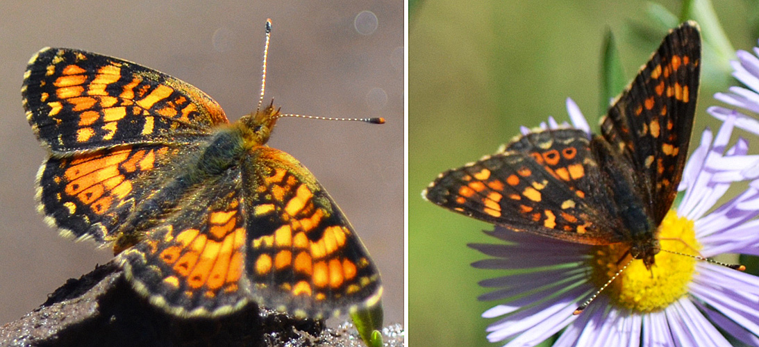 Field Crescent - female (left) and male (right). ©Bob Scafe