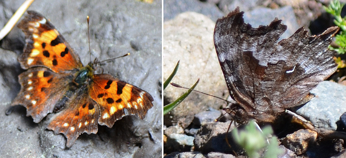 Green Comma (Polygonia faunus), dorsal view (left) and ventral view (right). Photos: © Bob Scafe