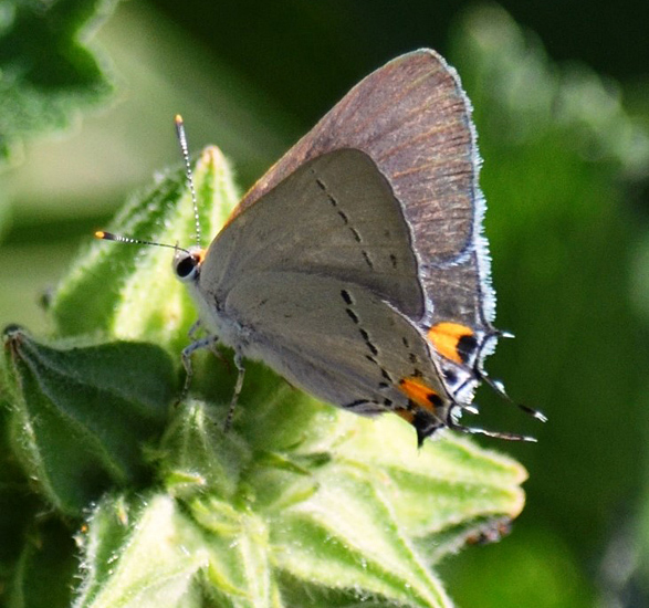 Gray Hairstreak (Strymon melinus) on Hollyhock plant. Photo: © Bob Scafe
