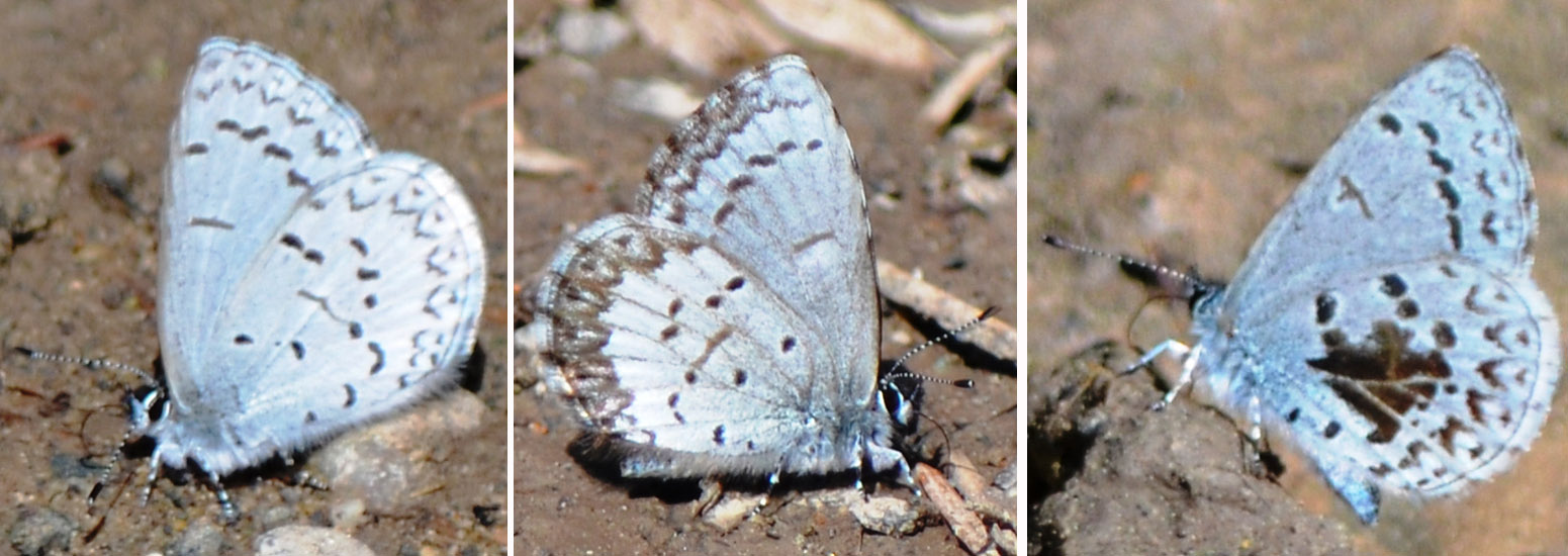 Spring Azure (Celastrina argiolus) showing the variation in subspecies (left to right): echo, marginata and lucia. Photos: © Bob Scafe