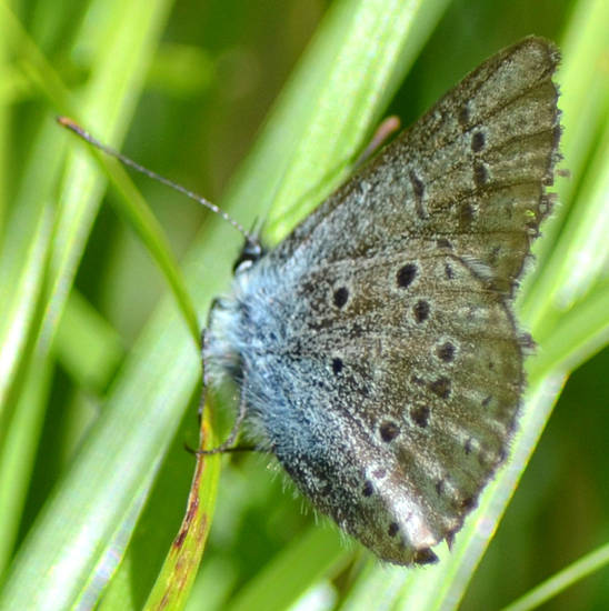 Greenish Blue, photographed on July 3, 2016 at kentucky-Alleyne Provincial Park. Photo: ©Bob Scafe