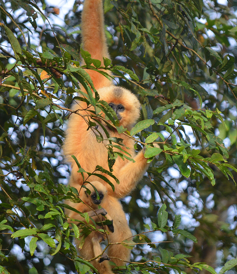 A Black-crested Gibbon and baby. Photo:  © Bob Scafe
