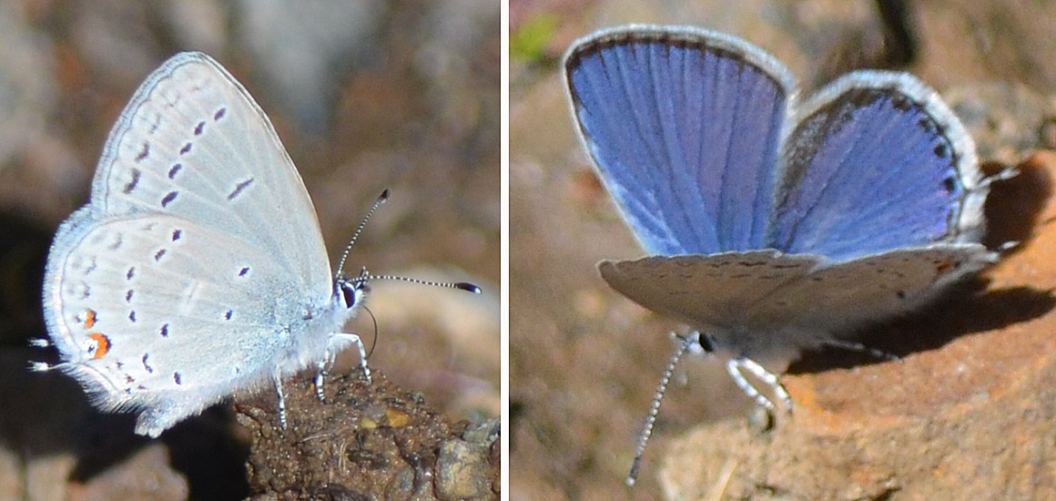 Eastern Tailed Blue (Everes comyntas) photographed at Comstock Forest Service Road near Merritt, May 6, 2015. Photo: ©Bob Scafe