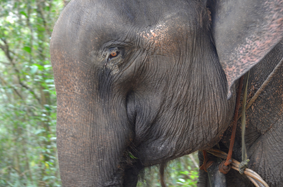 Close-up of a working Asian Elephant.  Photo: © Bob Scafe