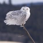 Snowy Owl - Alan Burger