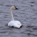 Tundra Swan - Alan Burger