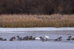 Waterfowl on Douglas Lake - Alan Burger