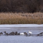 Waterfowl on Douglas Lake - Alan Burger