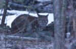 Bobcat - Alan Burger