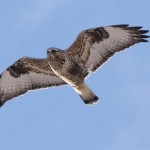 Rough-legged Hawk - Alan Burger