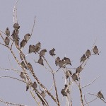 Bohemian Waxwings - Alan Burger