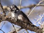 American Three-toed Woodpecker - Alan Burger