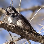 American Three-toed Woodpecker - Alan Burger