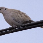 Eurasian Collared Dove - Alan Burger