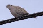 Eurasian Collared Dove - Alan Burger