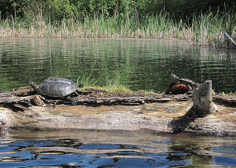Painted Turtles bask in the spring sun at Corbett Lake, near Merritt. This species is generally not found in lakes in the Nicola Valley and the ones in Corbett Lake might be introduced by people.  Photo:  © Andrea Lawrence