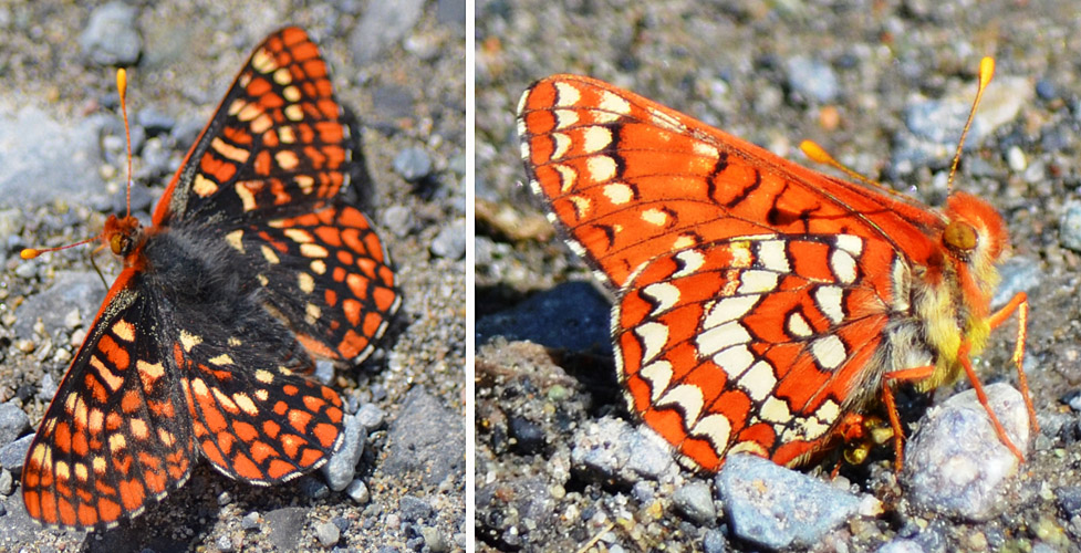 Anicia Checkerspot June 4, 2015. Rush Lake. © Bob Scafe