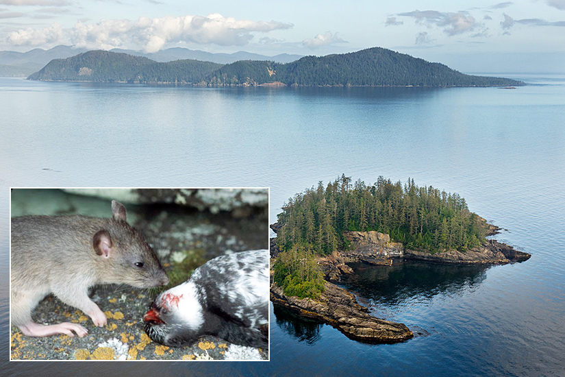 Islands in the Haida Gwaii archipelago are important nesting areas for many seabirds, but rats and other introduced mammals cause devastation unless controlled. Photos: © Chris Gill
