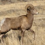 Bighorn Sheep (photo: Carol &amp; Jack Madryga)