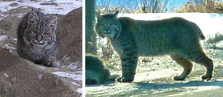 Bobcats in the Merritt area. Photos: © David & Corinne Pitt (left), Gerry & Jill Sanford (right).