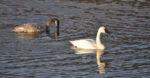 Trumpeter Swan - Gloria Brenner