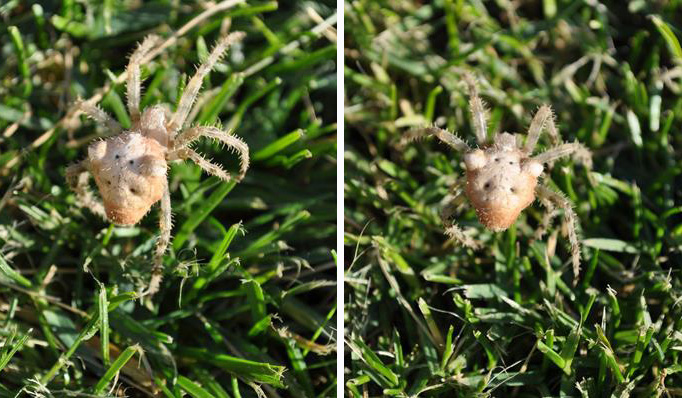 This Cat-faced Orb Weaver spider was found on a Merritt lawn. Photo: © Gloria Brenner