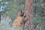 Cinnamon-coloured Black Bear