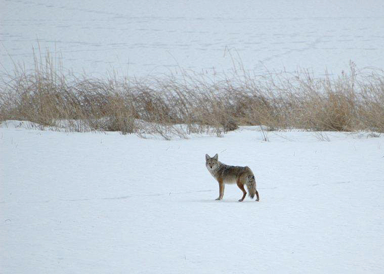 Coyote in the winter snow. Photo:  Gloria Brenner