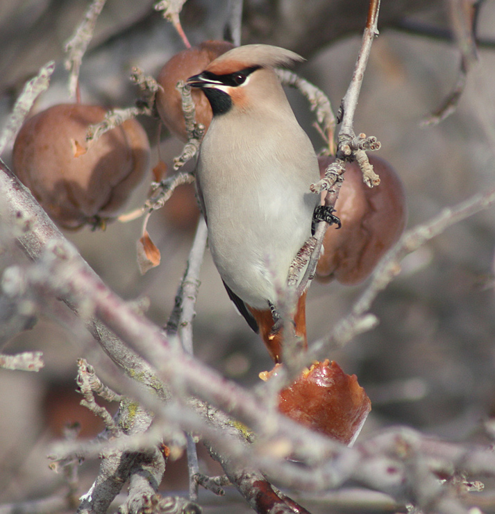 Bohemian Waxwings - common winter visitors to the Merritt area.  Photo: © Bruce Grimshire