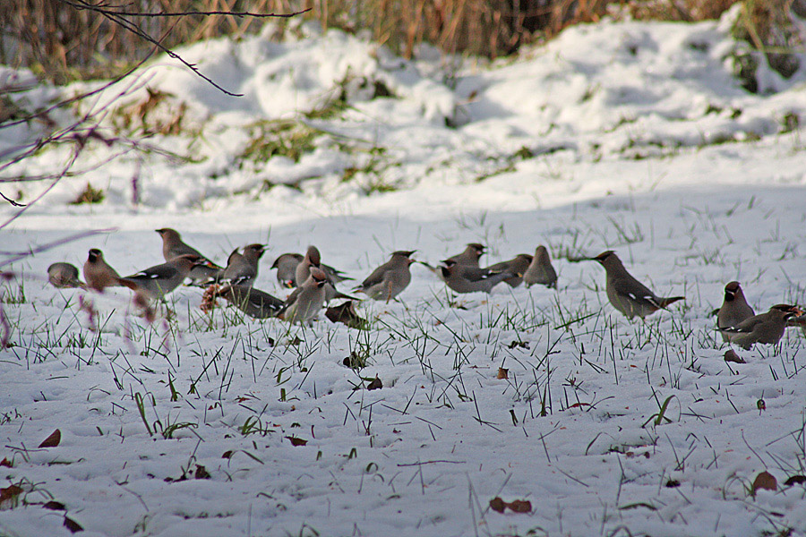 A mid-winter flock of Bohemian Waxwings in the Nicola Valley, BC.  Photo: © Bruce Grimshire