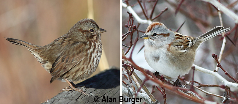 One sparrow is a common year-round resident and the other is a winter visitor to the Nicola Valley. Can you identify these? Scroll to the bottom of the page to see the identities. Photos: © Alan Burger