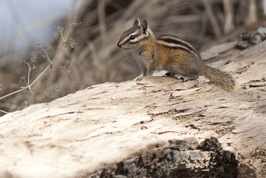 A Yellow Pine Chipmunk - newly emerged from its winter hibernation.  Photo: © Alan Burger