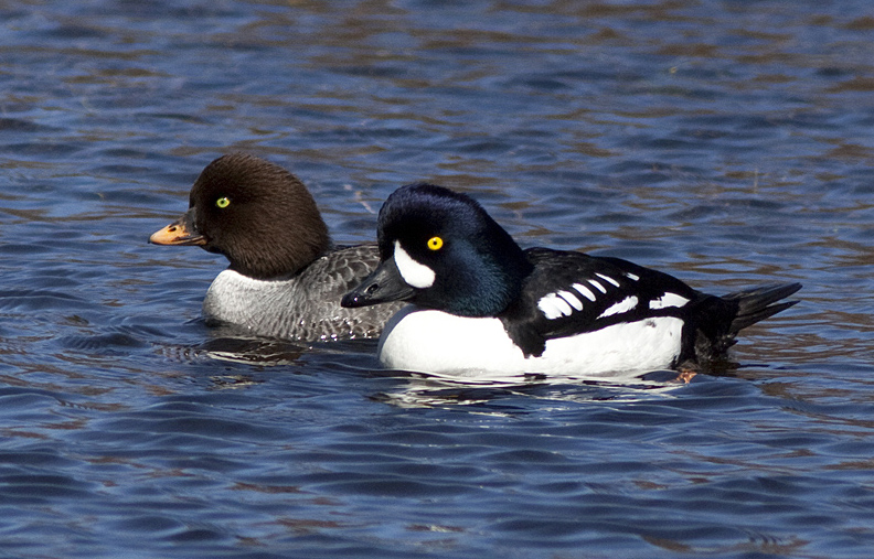 A pair pf Barrow's Goldeneyes in spring, Kane Valley near Merritt.  Photo: © Alan Burger