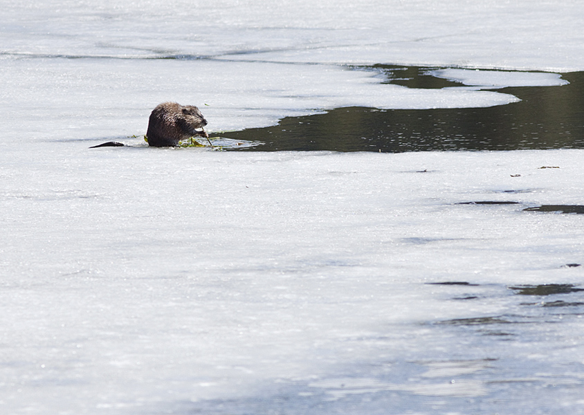This Muskrat was diving down below the ice to bring up plants to eat, Harrison Lake, Kane Valley near Merritt.  Photo: © Alan Burger