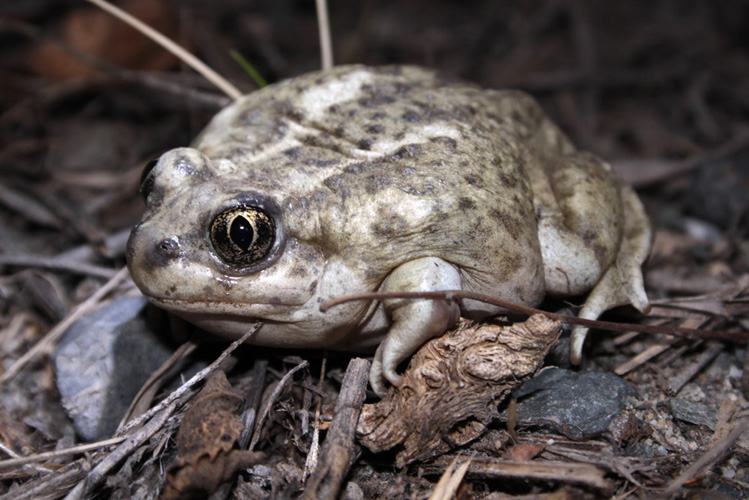 A Great Basin Spadefoot near Douglas Lake, BC. This charismatic and threatened species is highly adapted to the dry interior grasslands and spends most of its life buried underground. If conditions are favourable, a night visit to a spadefoot breeding pond will be a highight of the Spring Merritt Camp.   Photo: © Alan Burger