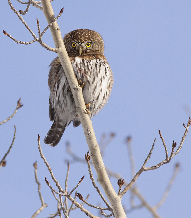 Northern Pygmy Owl. Photo:  Alan Burger