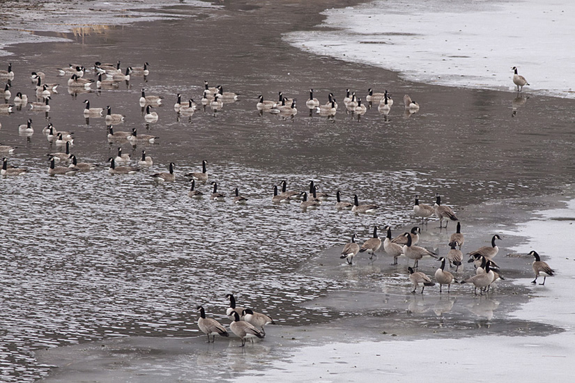 Canada Geese on teh melting ice of Nicola Lake in early spring. Photo: © Alan Burger