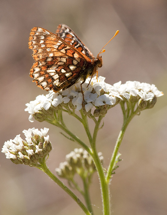 A Checkerspot butterfly visits a Yarrow flower. Photo: © Alan Burger