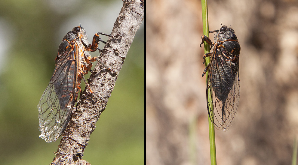 Many Cicadas emerged in the summer of 2013. Their high-pitched buzzing is one of the signs of summer.  Photos: © Alan Burger