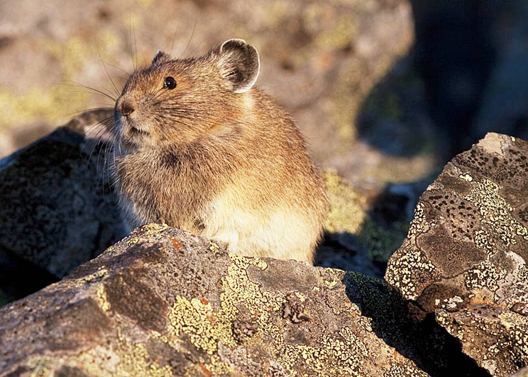 Pikas are common in the rock screes of the alpine and high elevation areas around the Nicola Valley and Coast Mountains. Photo: © Alan Burger