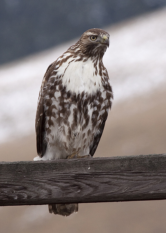 An immature Red-tailed Hawk in winter, Nicola Valley.  Photo:  © Alan Burger