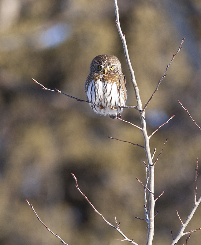 A Northern Pygmy Owl.  Photo: © Alan Burger