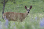 Mule Deer in summer.