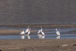 White Pelicans at Nicola Lake.