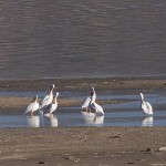 White Pelicans at Nicola Lake.