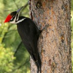 Pileated Woodpecker (photo: Alan Burger)