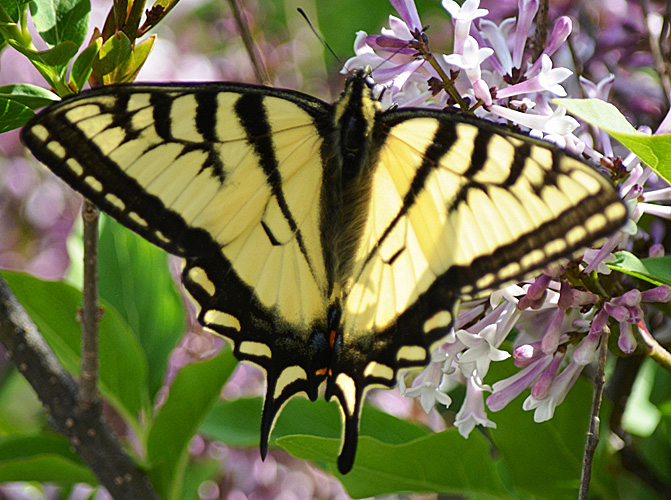 Canadian Tiger Swallowtail Papilio canadensis. © Bob Scafe