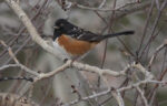 Spotted Towhee - Corey Burger