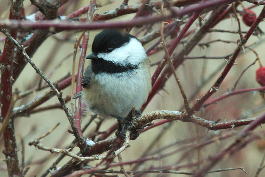 Black-capped Chickadee - one of the species ticked by most groups on the Merritt Christmas Bird Count.  Photo: © Corey Burger