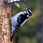 Hairy Woodpecker - Corey Burger
